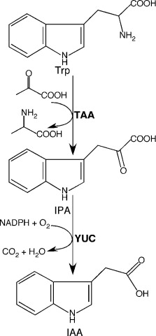 Auxin Biosynthesis: A Simple Two-Step Pathway Converts Tryptophan ...