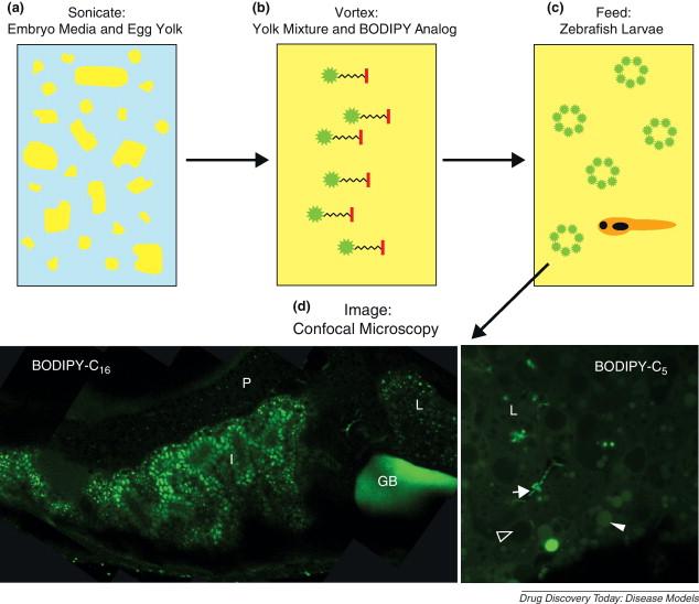 ... - Imaging vertebrate digestive function and lipid metabolism in vivo