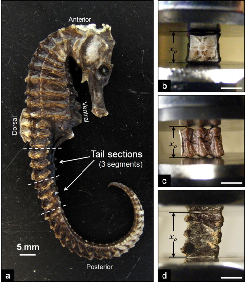 Seahorse Tails Inspire Robotic Arm Applications