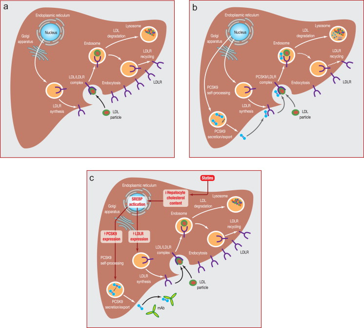 PCSK9: From discovery to therapeutic applications