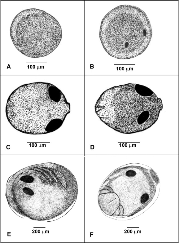 fish embryo development