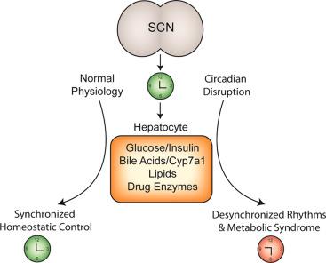 The suprachiasmatic nucleus (SCN) generates endogenous biological rhythms, ...