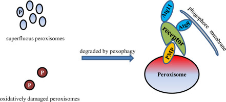 Redox regulated peroxisome homeostasis