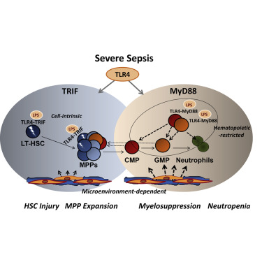 sepsis induces hematopoietic stem cell exhaustion and, Skeleton