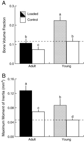 Adult mice demonstrated a reduced response to loading relative to Young mice ...