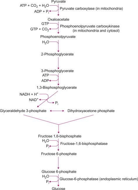 Gluconeogenesis - ScienceDirect Topics