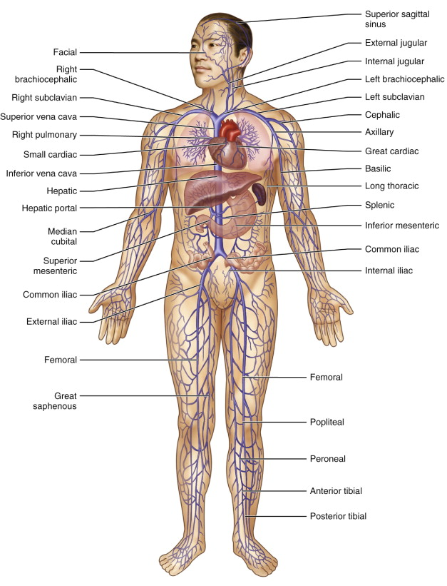 veins of the upper limb - sciencedirect topics, Cephalic Vein