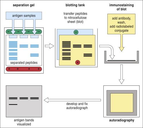 Western blot - ScienceDirect Topics