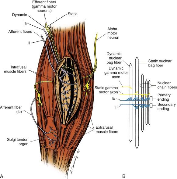 nuclear bag fiber - sciencedirect topics, Muscles