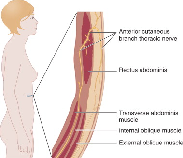 anterior cutaneous branches of the femoral nerve - sciencedirect, Muscles