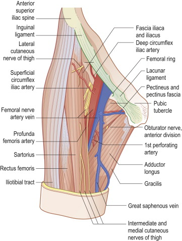 femoral nerve vein artery – lickclick, Muscles