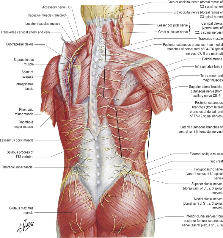 trapezius muscle - sciencedirect topics, Muscles