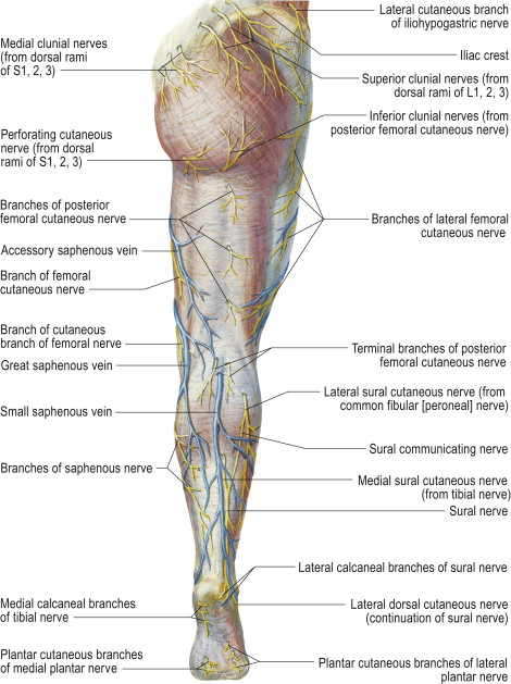 posterior cutaneous nerve of thigh - sciencedirect topics, Muscles