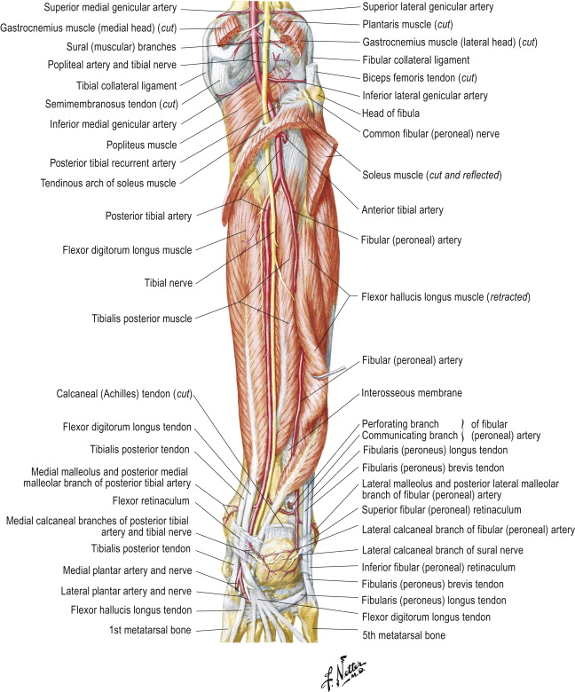Blood Supply of Bones