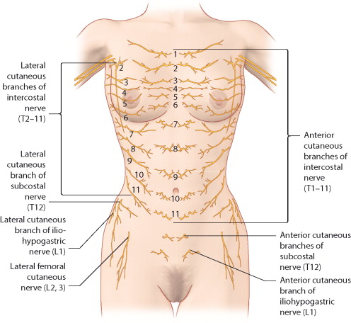femoral nerve sensation – lickclick, Muscles