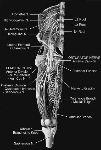accessory obturator nerve - sciencedirect topics, Muscles