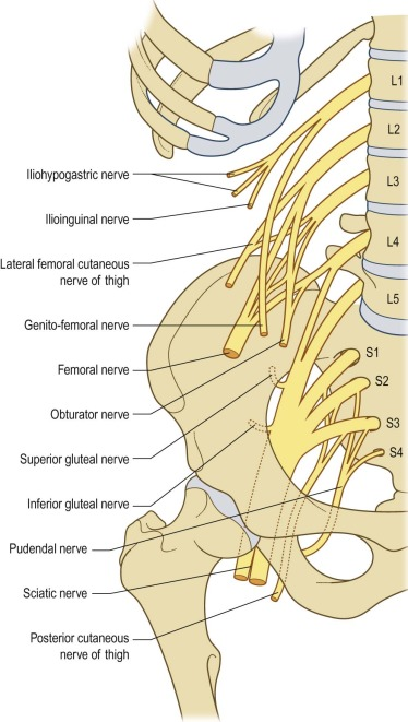lumbosacral plexus - sciencedirect topics, Muscles