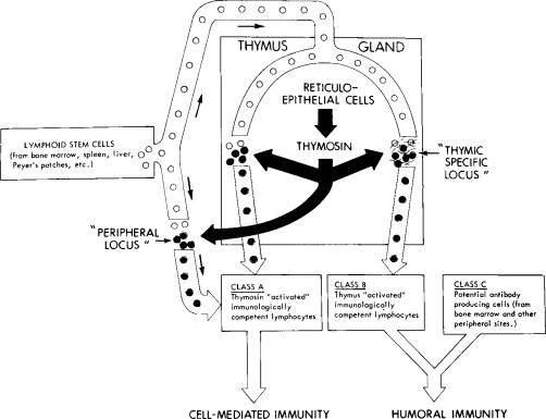 The Thymus Gland Experimental And Clinical Studies Of Its Role In