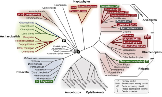 The Evolution Of Algae By Secondary And Tertiary Endosymbiosis