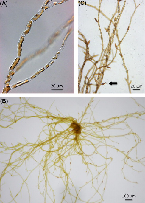ectocarpus genome