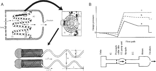 The physiology and molecular biology of sponge tissues sciencedirect a diagram illustrating the basic sponge design with pumps choanocyte chambers in parallel water enters through ostia to incurrent canals ccuart Choice Image