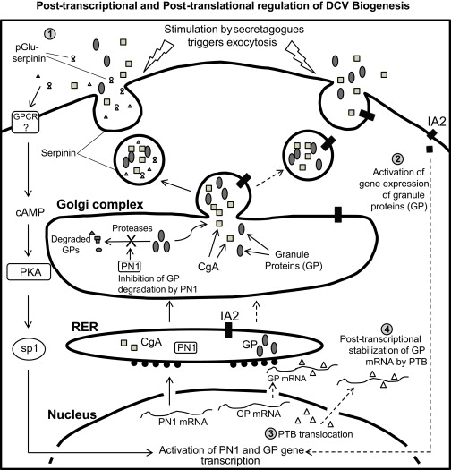 Cellular Mechanisms For The Biogenesis And Transport Of Synaptic And