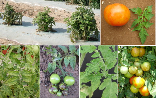 Tomato Yellow Leaf Curl Virus - an overview | ScienceDirect