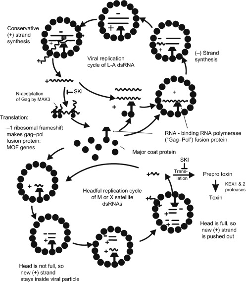 Viruses And Prions Of Saccharomyces Cerevisiae
