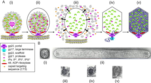 Bacteriophage T4 Capsid