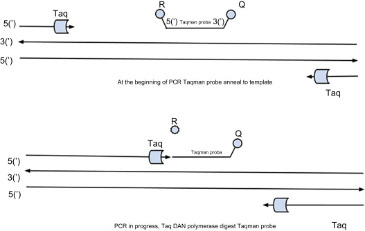 Real-Time Polymerase Chain Reaction - an overview