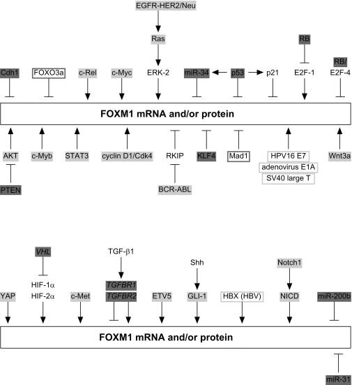 FOXM1 (Forkhead box M1) in Tumorigenesis: Overexpression in
