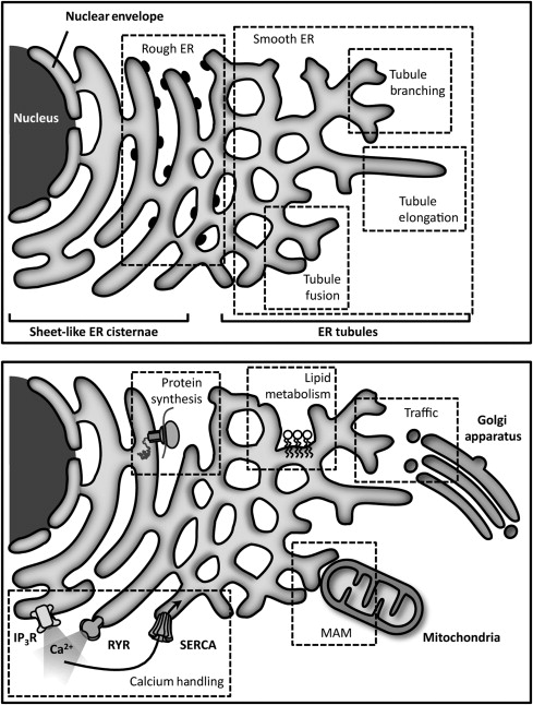 Endoplasmic Reticulum And The Unfolded Protein Response Dynamics