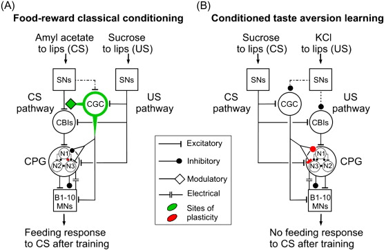 Molecular And Cellular Mechanisms Of Classical Conditioning In The
