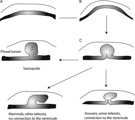 The Pineal Gland from Development to Function - ScienceDirect
