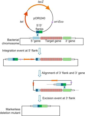 Bacillus subtilis model gram positive synthetic biology chassis download full size image malvernweather Images