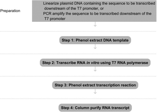 In Vitro Transcription from Plasmid or PCR-amplified DNA - ScienceDirect