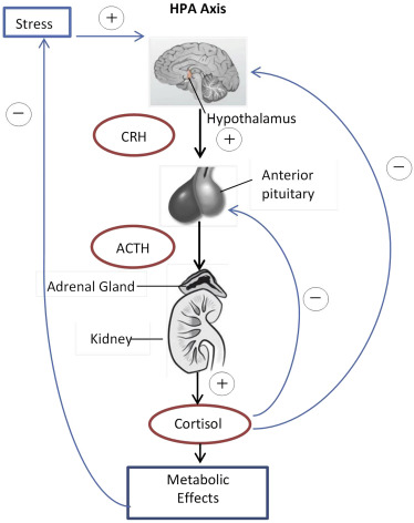 activation of the hypothalamic-pituitary-adrenocortical (hpa) axis results in the secretion of