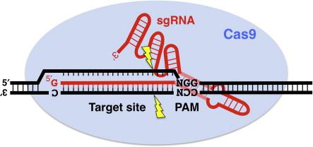 CRISPR/Cas9 - an overview | ScienceDirect Topics