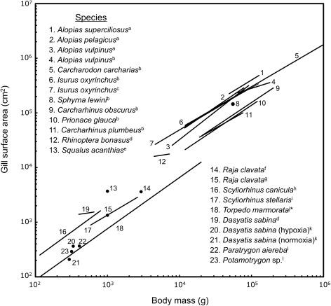 Elasmobranch Gill Structure - ScienceDirect