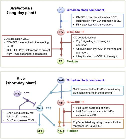Florigen Signaling - ScienceDirect