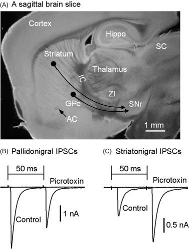 The Substantia Nigra Pars Reticulata - ScienceDirect
