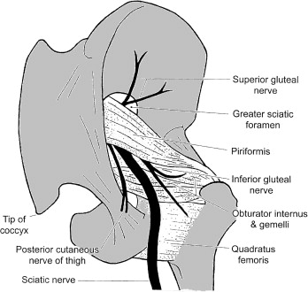 Sciatic Nerve - an overview | ScienceDirect Topics