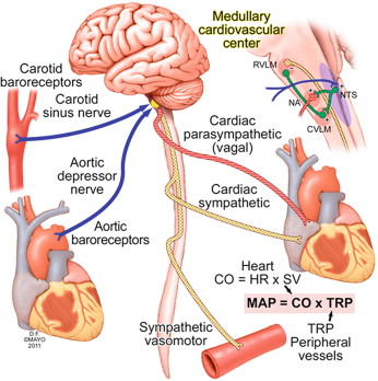 Regulation Of Blood Pressure By The Arterial Baroreflex And