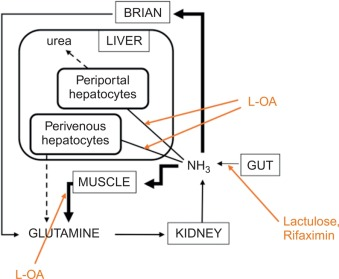 Ornithine Aspartate - an overview | ScienceDirect Topics