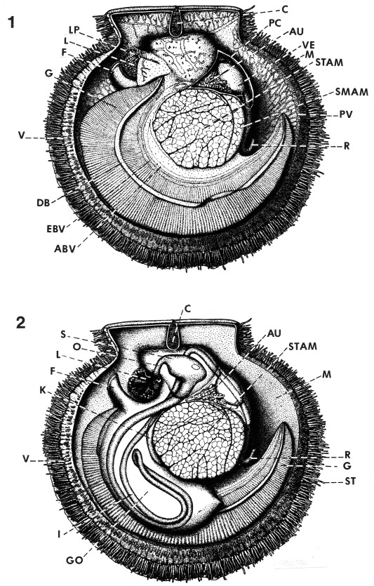 Scallop Structure and Function - ScienceDirect