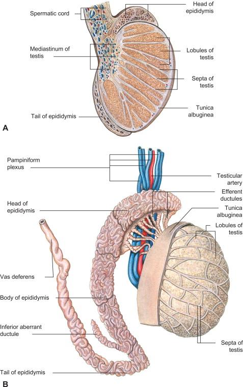 Mediastinum Testis An Overview Sciencedirect Topics