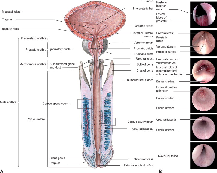 Anatomy And Physiology Of Genital Organs Men Sciencedirect