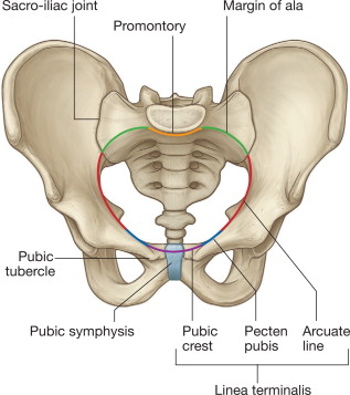 one half of female pelvic bone diagram pelvis an overview sciencedirect topics  pelvis an overview sciencedirect topics