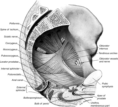 Perineal Nerve An Overview Sciencedirect Topics