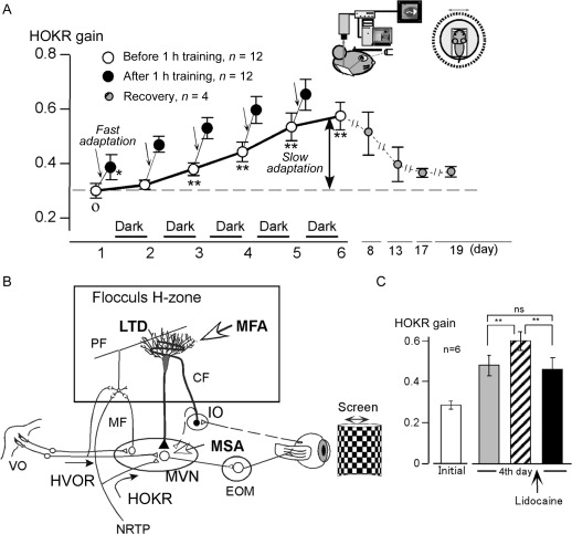 Long Term Depression As A Model Of Cerebellar Plasticity